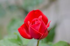 Lonely red rose in garden Royalty Free Stock Photo