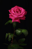 Lonely red rose. With water droplets against a dark background Royalty Free Stock Photo