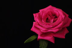 Lonely red rose. With water droplets against a dark background Stock Images