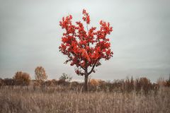 Lonely red tree against a cloudy sky stock photography