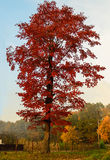 Lonely red tree Royalty Free Stock Images