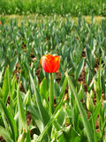 Lonely red tulips Royalty Free Stock Image