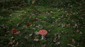 Lonely Red and White Magic Mushroom in Autumn Forest stock video