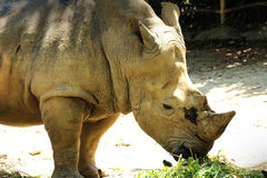 Lonely Rhinoceros. Close up of Lonely Rhinoceros Stock Images