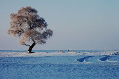 A lonely  rime  tree Stock Image