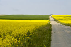 Lonely road between fields of yellow rapeseed. (Brassica napus) flowers and green crops Stock Photos