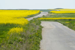 Lonely road between fields of yellow rapeseed. (Brassica napus) flowers and green crops Royalty Free Stock Image