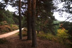 A lonely road between the pines in the mystery colored autumn forest. In the sunset time near Madrid, Spain. Valsain`s forest `La boca del asno` the fonderful Royalty Free Stock Photography