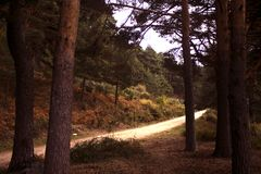 A lonely road between the pines in the mystery colored autumn forest. In the sunset time near Madrid, Spain. Valsain`s forest `La boca del asno` the fonderful Royalty Free Stock Image