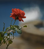 Lonely Rose Stock Images