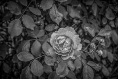 A Lonely Rose. A black and white rose Royalty Free Stock Images