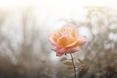 A lonely rose royalty free stock photo