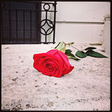 Lonely Rose Left in New York City Royalty Free Stock Photos
