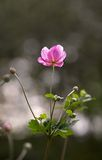 Lonely rosy flower Royalty Free Stock Images