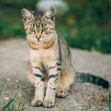 Lonely, Sad, Homeless Cute Tabby Gray Cat Kitten Pussycat. Sitting In Grass Outdoor Summer Evening stock photo