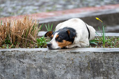 Lonely and sad homeless dog lying on the street. Royalty Free Stock Image