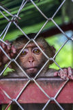 Lonely, sad monkey in a cage in Thailand. A lonely, sad monkey in a cage in Thailand Stock Photos