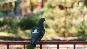 A lonely sad pigeon in the park sits on an iron perch stock photos