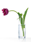 Lonely sad purple tulip in vase Royalty Free Stock Image