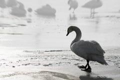Lonely sad swan walking Stock Image
