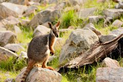 A lonely sad wallaby Royalty Free Stock Photography