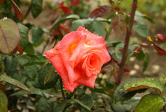 Lonely scarlet rose Royalty Free Stock Photos