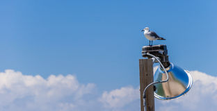 Lonely Seagul. L sitting on the light pole Royalty Free Stock Photography
