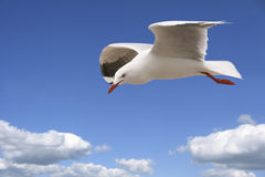 Lonely Seagull. Seagull flying above the clouds looking down Royalty Free Stock Photography