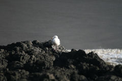 Lonely Seagull Stock Image