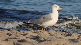 Lonely seagull on the beach. stock photo