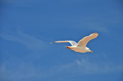 Lonely seagull. stock photos