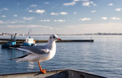 Lonely seagull in harbor of Poole, United Kingdom. Lonely seagull in Poole  harbor, United Kingdom Stock Photos