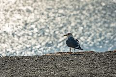 Lonely seagull Larus marinus on a gray pebble beach on a blurred background of silver waves of the sea. Sunny autumn day stock photo