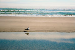 Lonely Seagull. Lone seagull stands by a tide pool in North Myrtle Beach, SC.  Calming blues and nice texture Royalty Free Stock Photo