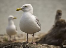 SEAGULL PERCHED ON DRIFTWOOD LOOKING. A lonely seagull looks for something to the side as he is perched on a piece of driftwood stock image