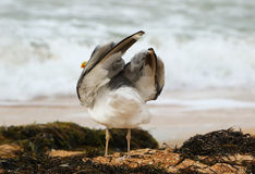 A lonely seagull Stock Photography