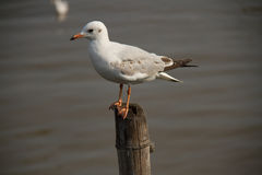 Lonely Seagull. Seagull relax on stump in the sea Stock Images