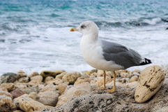 Lonely seagull Stock Photos