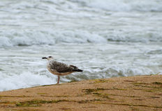 Lonely seagull on the shore Stock Image