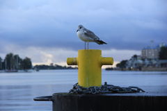 Lonely seagull sitting on a yellow bollard in the early morning at the seaport Stock Images