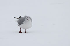 Lonely seagull in winter time Royalty Free Stock Photo