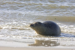 Lonely seal at beach near village of Hollum, Ameland Royalty Free Stock Photography