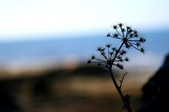 Lonely sedum flower on seaside royalty free stock photos