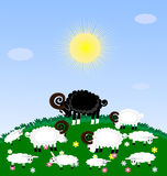 Lonely sheep. A green grazing white sheep and lambs, among them the sad one black sheep Stock Images