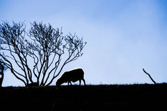 Lonely sheep 2 Stock Images