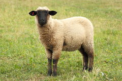 Lonely sheep Stock Images