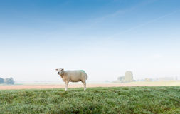 Lonely sheep early in the morning Stock Image