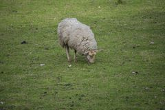 Lonely sheep eats gras in the meadow. Lonely sheep eats green gras in the meadow Royalty Free Stock Photos