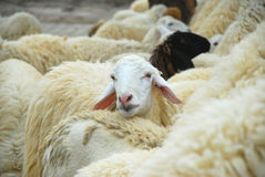 Lonely sheep Royalty Free Stock Image