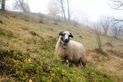 A Lonely Sheep in Foggy Autumn Forest Royalty Free Stock Image
